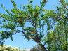 Kvetoucí stromek granátovníku