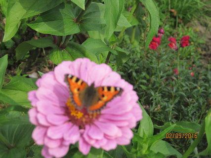 FOTKA - Motýl sosá