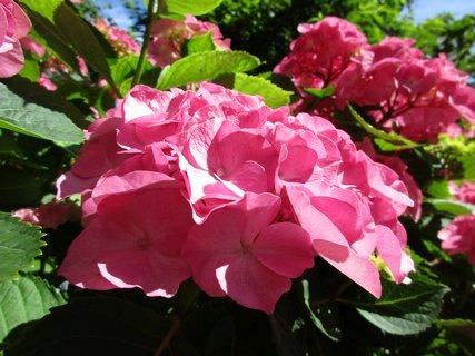 FOTKA - ruzove hortenzie