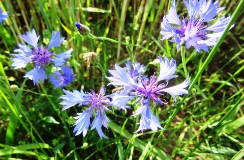 FOTKA - chrpy kvetly