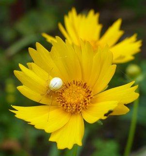 FOTKA - beloucky pavoucek