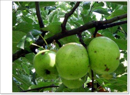 FOTKA - zelené jablká*