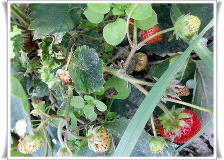 FOTKA - a jahody nám na záhradke len kvitnú a kvitnú