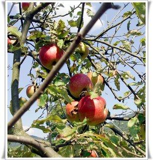 FOTKA - jabĺčka na slniečku,,
