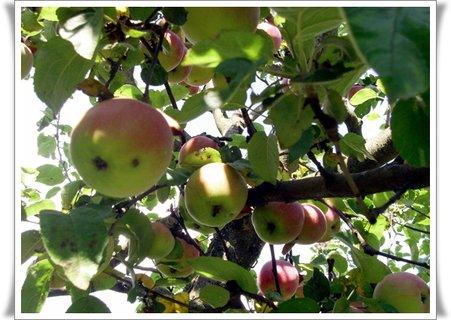 FOTKA - iná sorta jabĺk
