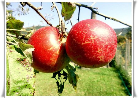 FOTKA - ďalší druh jabĺk