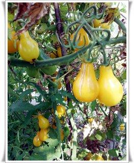 FOTKA - ozdobné paradajky,ale chutné