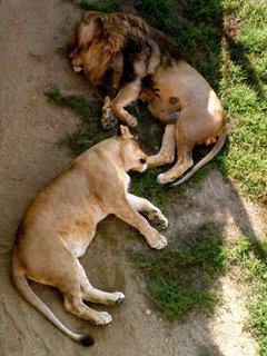 FOTKA - Ústecká zoo lvi