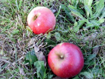 FOTKA - dva jabíčka na zemi pod stromom