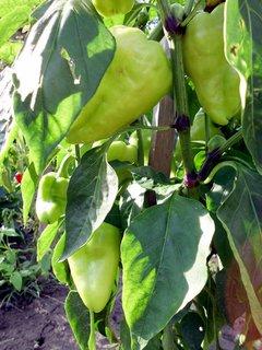 FOTKA - máme krásnu veľkú papriku