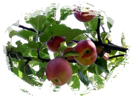FOTKA - vysoko sú jabĺčka