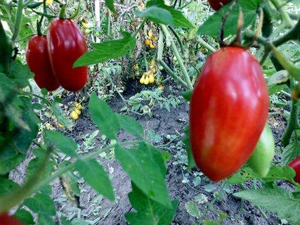 FOTKA - červené paradajky-pekná úroda