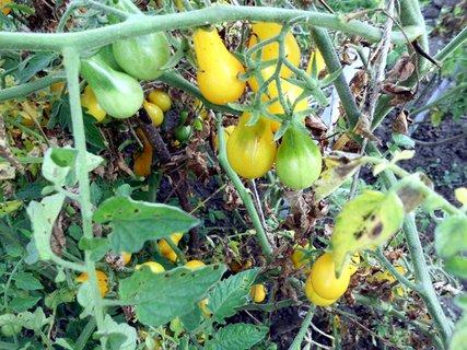 FOTKA - žlté hruštičkové tvary paradajok