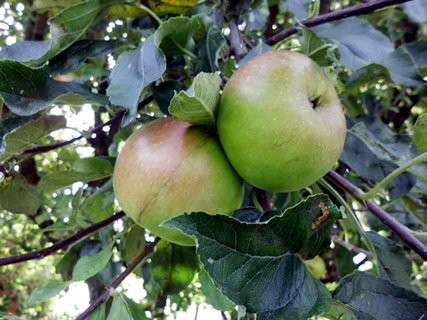 FOTKA - radosť fotiť tie jabĺčka na slniečku