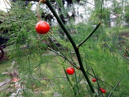 FOTKA - --červené bobulky na asparáte--