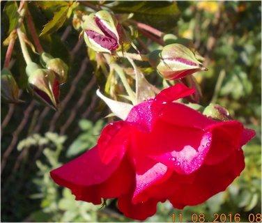 FOTKA - srpnová rosa ranní