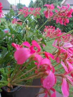 FOTKA - v �ervenci a st�le kvetou je�t�