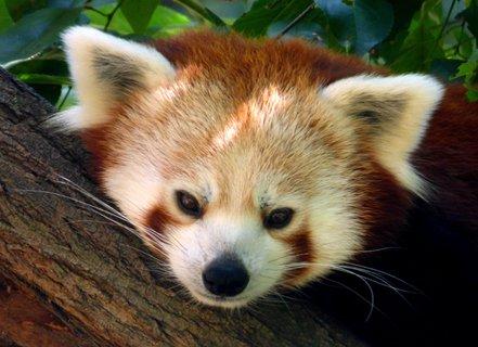 FOTKA - Portrét Pandy červené