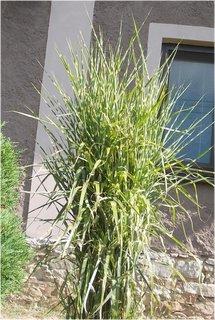 FOTKA - okrasná tráva u sousedky