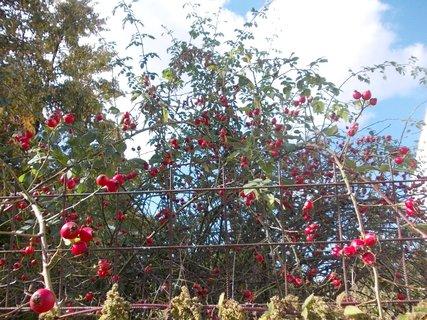 FOTKA - podzimní šípkový keř za plotem