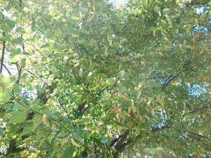 FOTKA - lípa na podzim