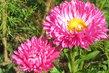 když kvetly astry