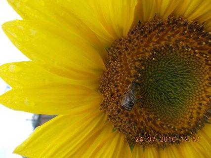 FOTKA - pracovnice pilná na květu