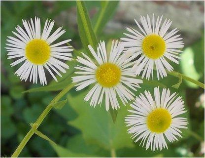 FOTKA - čtyři plevelní krásky