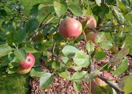 FOTKA - dozrávající jablíčka