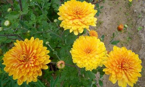 FOTKA - medové chryzantémy