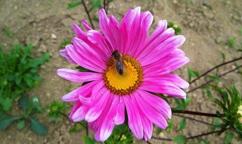 FOTKA - hodující včelka na astře