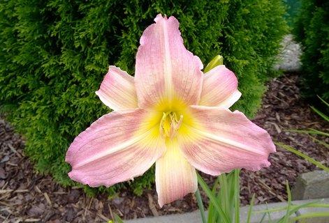FOTKA - květ denivky