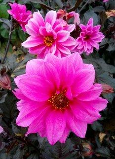 FOTKA - sytě růžové jiřiny