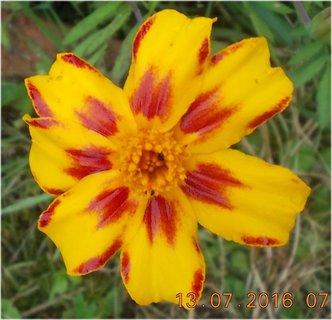 FOTKA - žluto-červený afrikánek