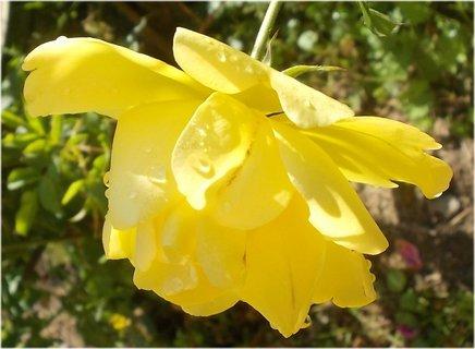 FOTKA - kapky se držely na listech okvětních