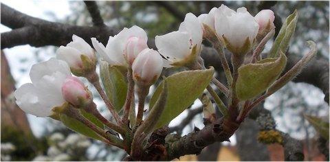 FOTKA - jabloňová poupata na jaře