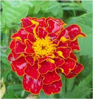 FOTKA - promáčený květ od lijáku v létě