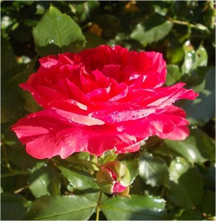 FOTKA - profil krásné růže