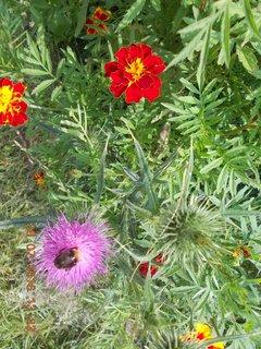 FOTKA - čmeláček na bodláčím květu