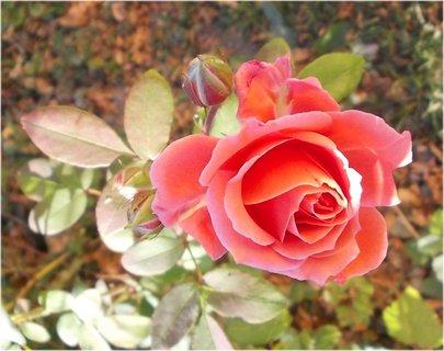 FOTKA - dnešní radost mi udělala růže, ač je konec září
