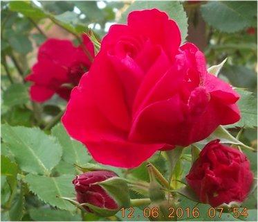 FOTKA - červnové růže krásné