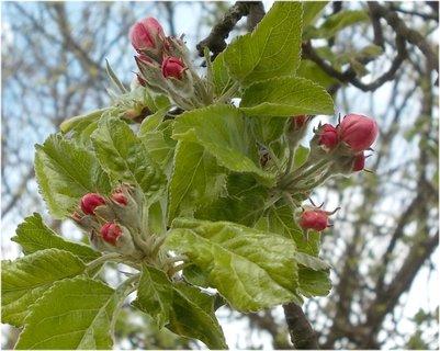 FOTKA - na jabloni v květnu