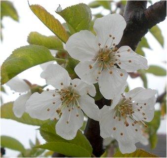 FOTKA - krása na třešni jarní