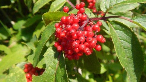 FOTKA - další červené plody