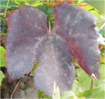 FOTKA - vinný list podzimní barvy