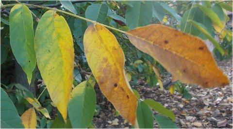 FOTKA - měnící se barvy na listech ořešáku