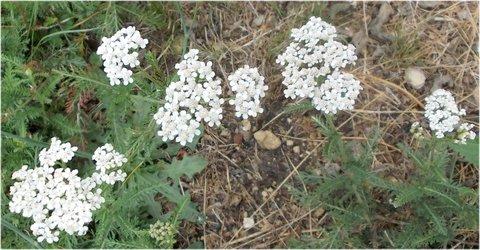 FOTKA - bělounký plevelní květy
