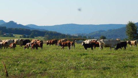 FOTKA - kravičky na pastvině