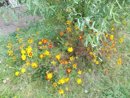 FOTKA - pod vrbou jich ještě kvete hodně