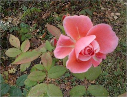 FOTKA - v detailu krásná růžička v říjnu
